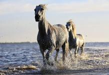 Pferde im Meer