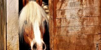 Pferd schaut aus Außenbox