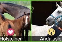 Holsteiner Vs Andalusier