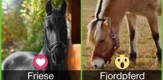 Abstimmung Friese vs Fjordpferd
