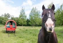 Irish Draught Horse vor Kutsche